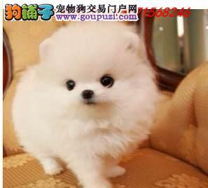 长沙市专业繁殖纯种博美犬 健康活泼 疫苗齐全!!!