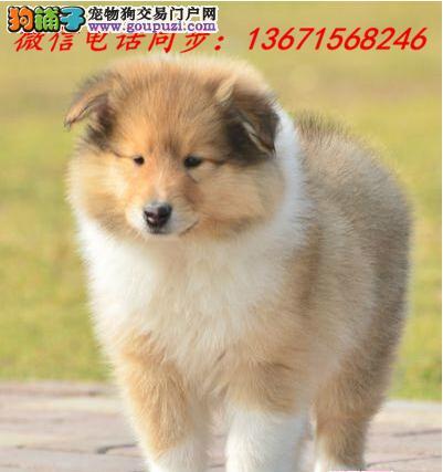 邯郸市专业繁殖纯种苏牧犬 健康活泼 疫苗齐全!!!