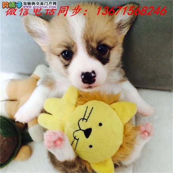 西安市专业繁殖纯种柯基犬 健康活泼 疫苗齐全!!!
