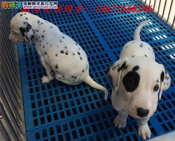 苏州市专业繁殖纯种斑点狗 健康活泼 疫苗齐全!!!