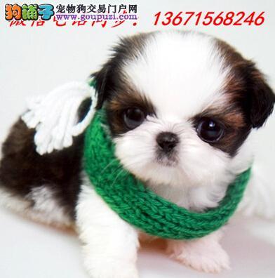 渝中区专业繁殖纯种西施犬 健康活泼 疫苗齐全!!!