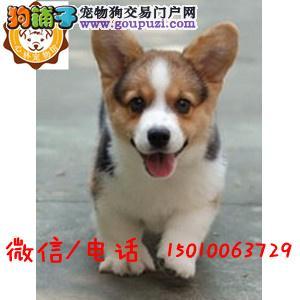 出售威尔士级柯基幼犬品相好健康有保障 可签购