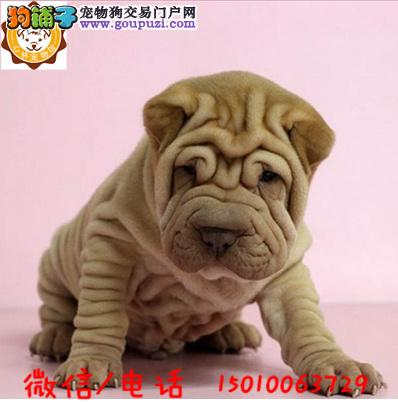 超可爱的沙皮幼犬适应能力强血统纯正聪明好训