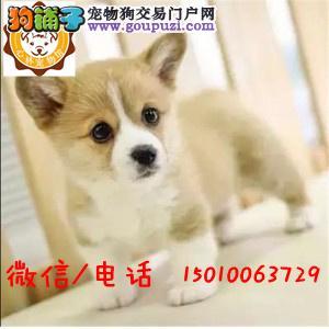 高端小型护卫犬 精品威尔士柯基 您放心选择