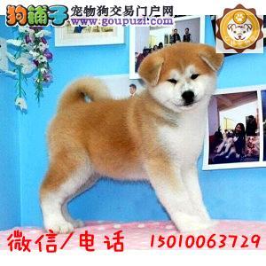 出售秋田幼犬 纯种健康 品质终身质保,本市免费