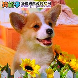 纯种柯基犬,正规犬舍繁殖,疫苗齐全
