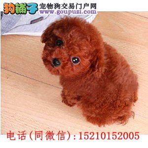 女神必备爱犬,精品小体泰迪幼犬,包活,多颜色可选