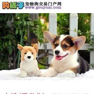 出售威尔士级柯基幼犬品相好健康有保障