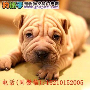正规繁殖基地出售纯血统高品质沙皮幼犬