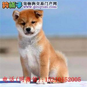 精品柴犬幼犬纯种健康质保