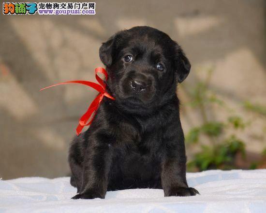 纯拉布拉多幼犬出售,优惠价,多只挑选,品相一流
