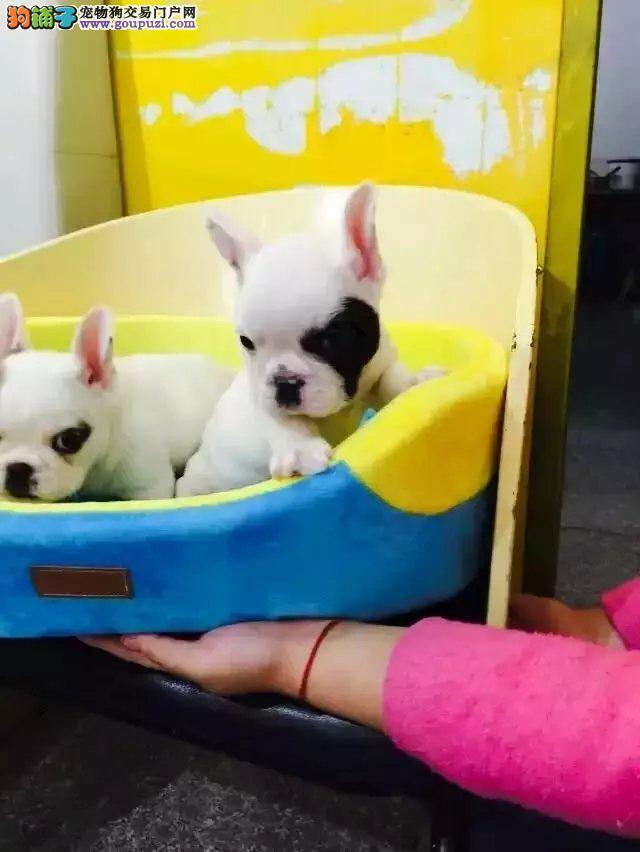 法斗犬多少钱一只 正规犬舍繁殖 诚信交易 可签协议
