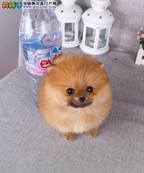 茶杯体博美犬纯种健康可以签订协议保证