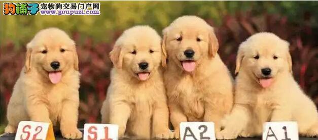 哪里卖枫叶直系顶级金毛CKU专业认证犬舍纯种健康精品