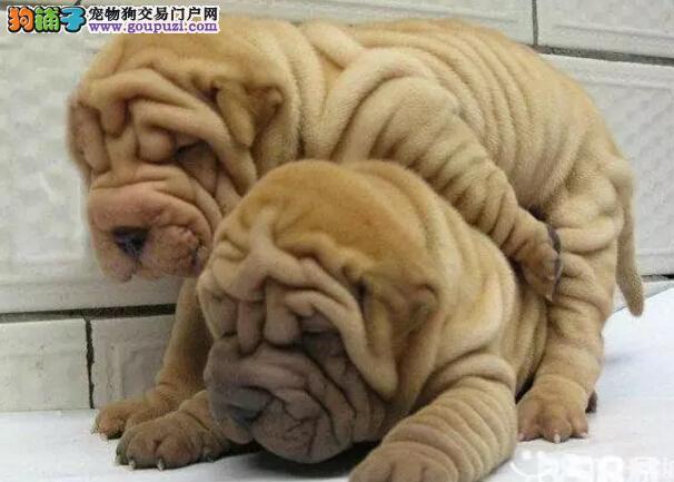 哪里卖沙皮各种名犬CKU专业认证纯种健康13182559965