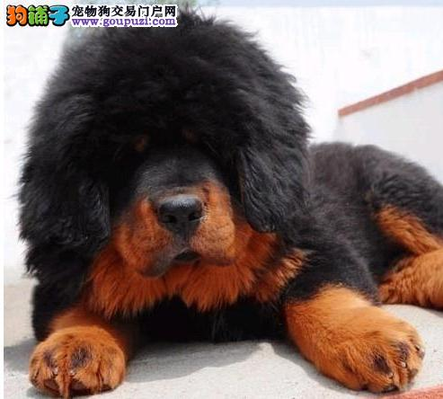 哪里卖藏獒CKU专业认证13182559965犬舍直销包养活