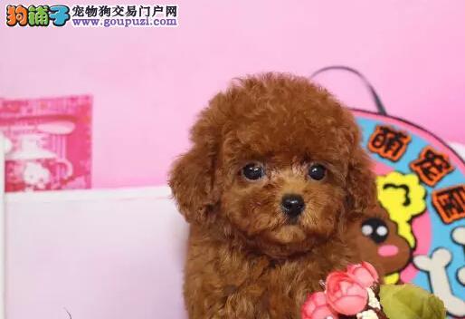 哪里卖泰迪贵宾犬13182559965CKU专业认证纯种健康犬舍