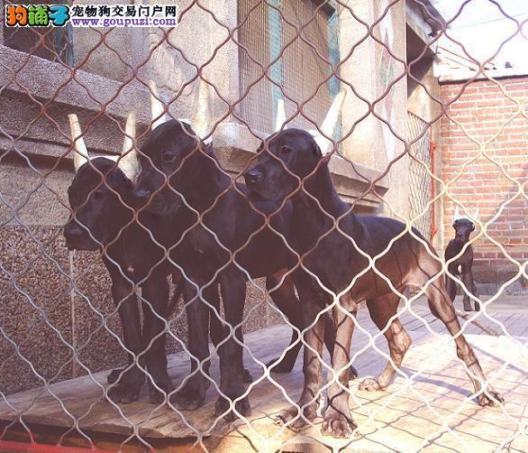 哪里卖纯种大丹13182559965火爆销售CKU专业认证犬舍