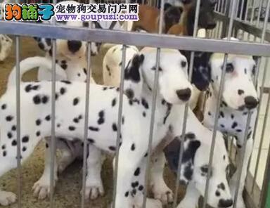 哪里卖高品质斑点狗带血统出售中质量三包 可签协议