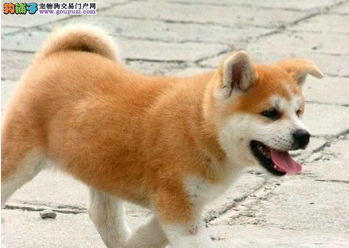 哪里卖纯种柴犬13182559965CKU专业认证犬舍纯种健康