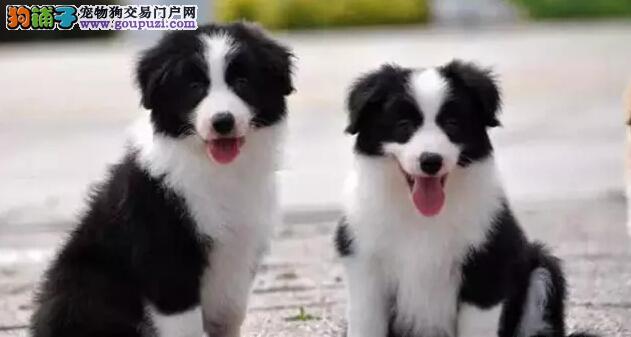 纯种苏格兰牧羊幼犬 血统纯 保健康 优惠价出售