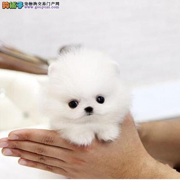 哪里卖超小体博美13182559965各种名犬名宠CKU认证