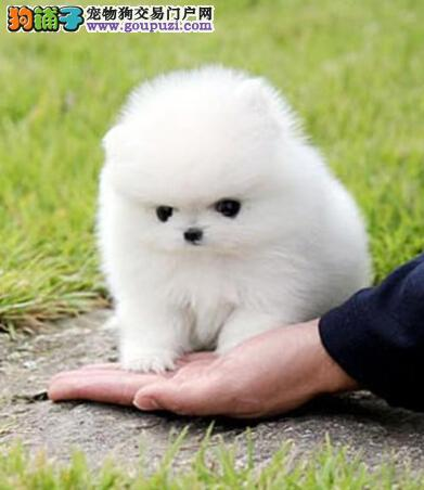哪里卖纯种博美俊介13182559965CKU认证纯种健康犬舍