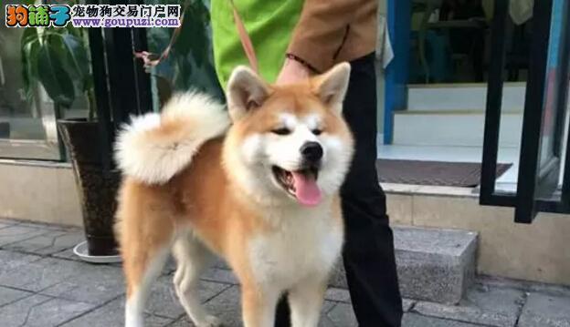 高品质日本秋田犬 血统纯正 保证健康 完美售后