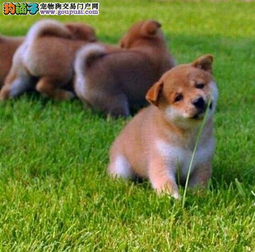 忠诚可靠的漂亮柴犬疫苗齐全品相好保证纯种健康