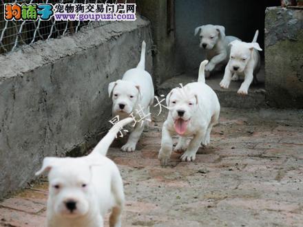 猎犬杜高大骨架杜高宝宝包健康包纯种