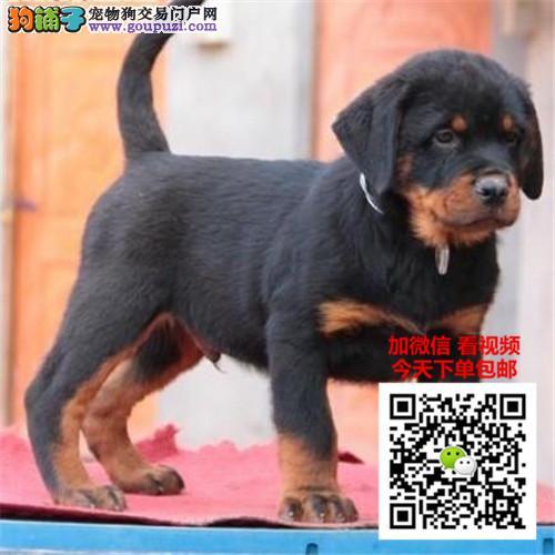 罗威纳犬多少钱一只 正规犬舍繁殖 诚信交易 可签协议