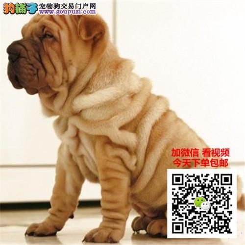 沙皮犬多少钱一只 正规犬舍繁殖 诚信交易 可签协议