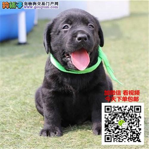 拉布拉多犬多少钱一只正规犬舍繁殖可签协议