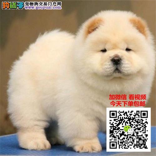 松狮犬多少钱一只 正规犬舍繁殖 诚信交易 可签协议