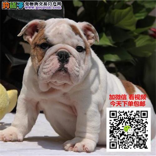 犬舍直销英国斗牛犬繁育专家出售顶级英牛犬|英斗幼犬