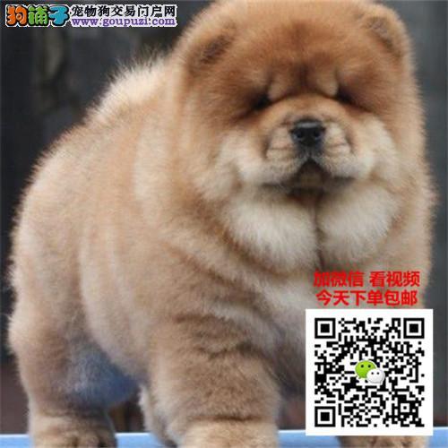 松狮犬幼犬出售纯种赛级松狮犬幼犬家养宠物狗狗