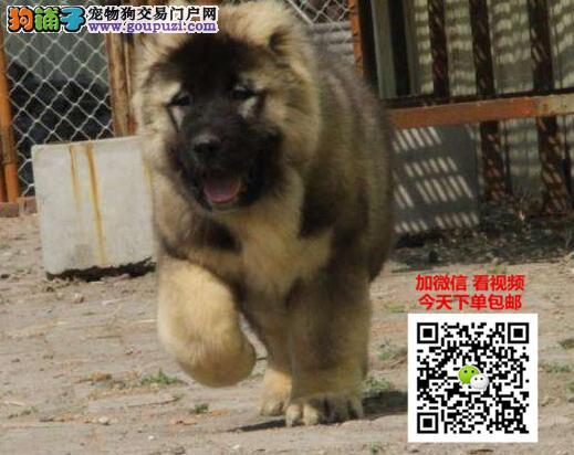 高加索犬多少钱一只 正规犬舍繁殖 诚信交易 可签协议