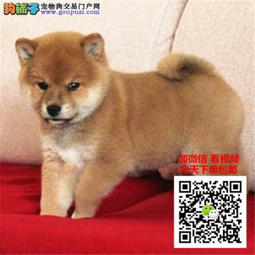 柴犬犬舍舍直销日系纯种柴犬幼犬 保证纯种健康
