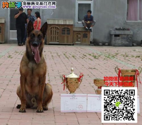 马犬多少钱一只 正规犬舍繁殖 诚信交易 可签协议