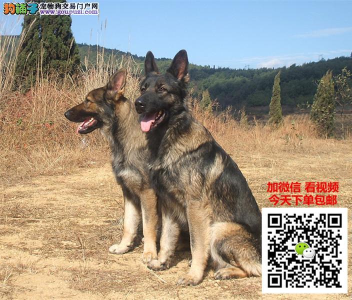 哪里有狼狗卖?几十种世界名犬等您来挑