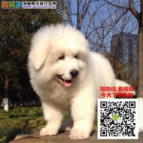 大白熊犬多少钱一只 正规犬舍繁殖 诚信交易 可签协议