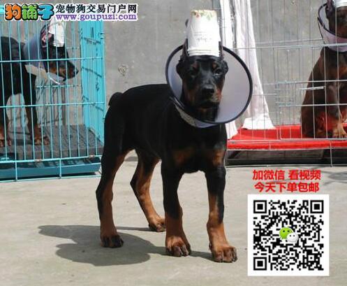 杜宾犬多少钱一只 正规犬舍繁殖 诚信交易 可签协议