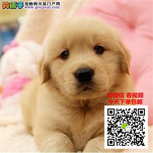 金毛犬多少钱一只 正规犬舍繁殖 诚信交易 可签协议