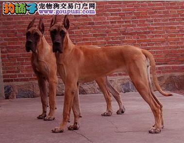 高端大丹犬幼犬、真实照片保纯保质、签订终身合同