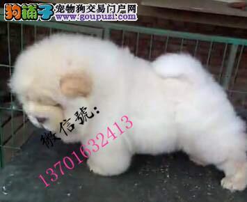 纯正美系正版松狮幼犬 小体松狮宝宝 颜色齐全 疫苗
