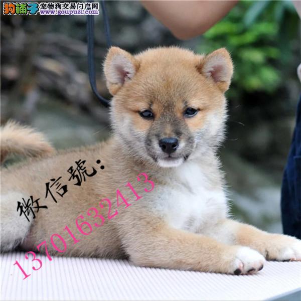 包头市精品日系柴犬出售 健康纯种包售后 质保一年