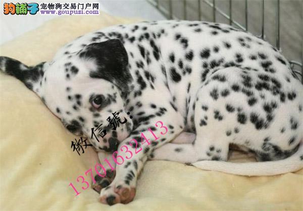 咸宁市出售高品质斑点幼犬 签署各项质保协议 质保三年