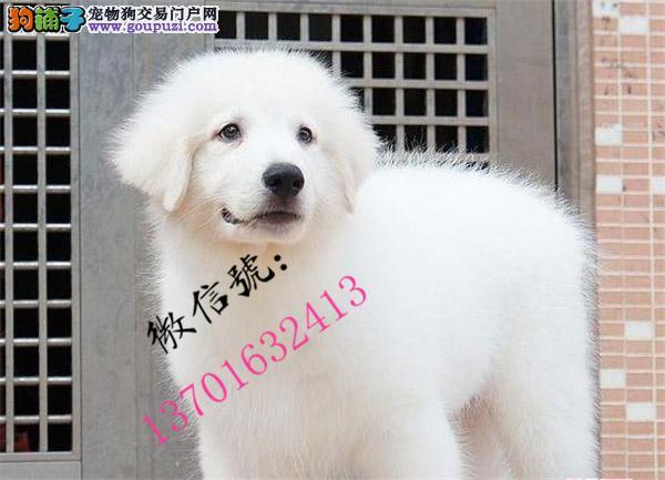 纯种大白熊幼犬品质保障品相极佳确保健康