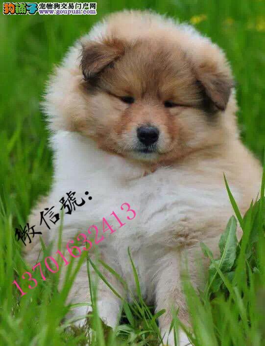 沧州市家养纯种苏格兰牧羊犬宝宝找新家 可看狗妈妈包健康