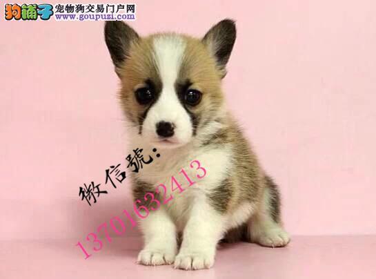英国双血统出售纯种柯基犬幼犬 威尔士三色柯基